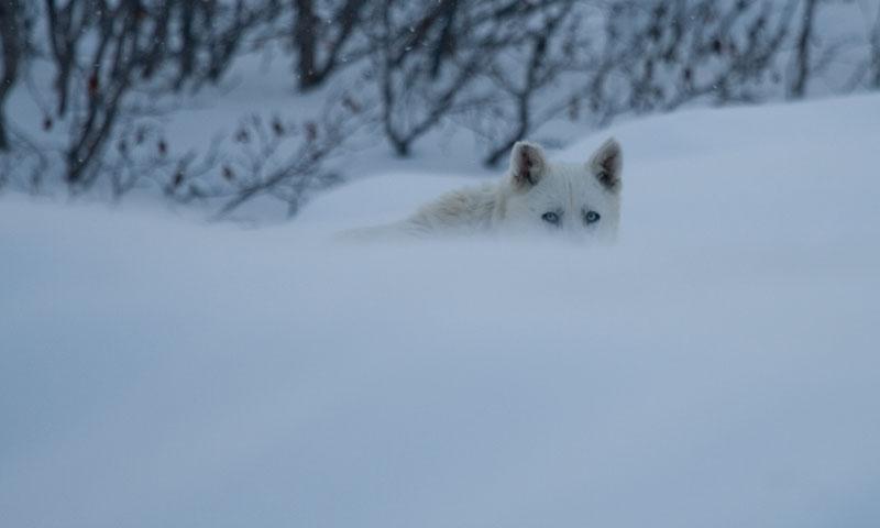 Met een leenhusky door noord-Canada