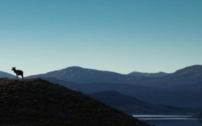 Highland hert