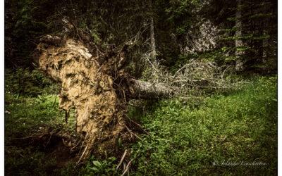 Ongerept woud